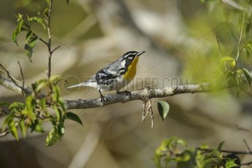 Yellow-throated Warbler on a branch - Cuba