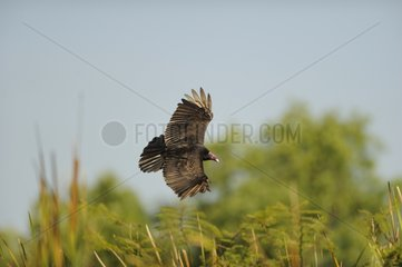 Turkey Vulture in flight - Cuba