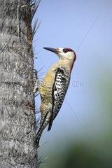 West Indian Woodpecker - Guanahacabibes peninsula Cuba