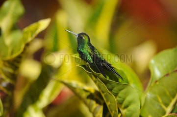Cuban Emerald on a leaf - Cuba
