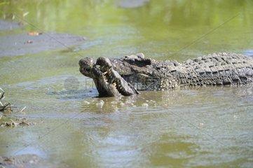 Cuba Crocodiles mating in water - Zapata peninsula Cuba