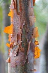 Gumbo limbo bark - Cuba