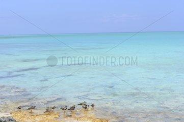 Ruddy Turnstone on the shore - Cuba Cayo Gillermo