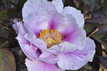 Tree peony 'Ambrose Congreve' in bloom in a garden