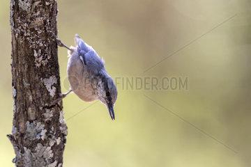 Wood Nuthatch (Sitta europaea) on a trunk  El Escorial  Madrid  Spain