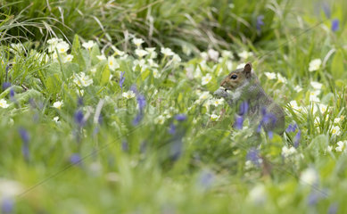 Grey squirrel (Sciurus carolinensis) Squirrel feeding amongst flowers England  Spring