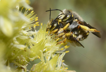Cotton bee (Anthidium oblongatum) mating on Stonecrop (Sedum sp)  Mercantour  Alsp  France