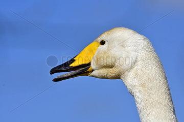Whooper Swan (Cygnus cygnus)  Marquenterre Ornithological Park  Somme Bay  France