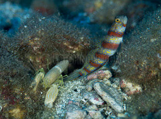 Red-banded Prawn-Goby and Snaping shrimp - Polynesia
