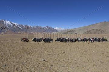 Caravan of Yacks  Changthang Plateau  Ladakh  Himalayas  India