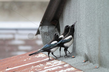 Black-billed Magpie (Pica pica) young on a roof