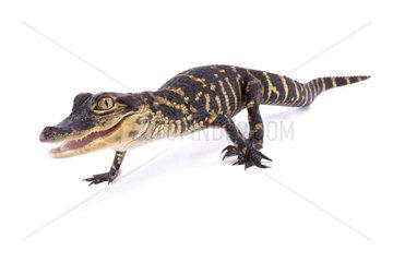 American alligator (Alligator mississippiensis) on white background