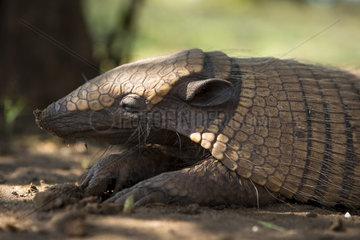 Six-banded armadillo (Euphractus sexcinctus)  Mato grosso do Sul  Brazil