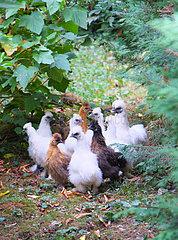 Chickens Negre-Soie breed  Dordogne  France
