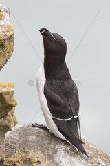 Razorbill (Alca torda) Razorbill perched on a cliff  Shetland  Spring