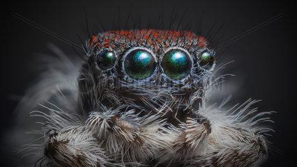 Front view of Maratus speciosus male Peacock spider.