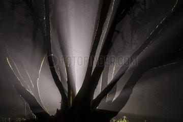 Laurel forest in the night fog  Garajonay National Park  La Gomera Island  Canary Islands  Spain
