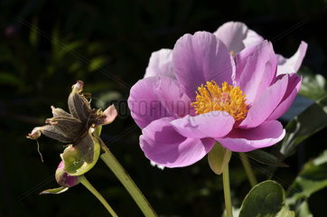 Paeony 'Pink Chalice' in bloom in a garden