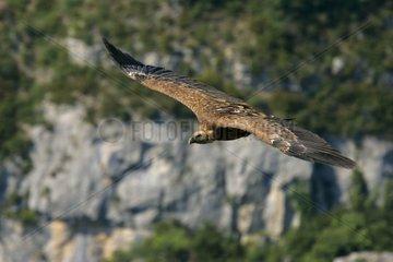 Fawn-coloured vulture in flight Rémuzat July Drome France [AT]
