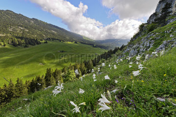 St. Bruno's lily in bloom - France Chartreuse Alps