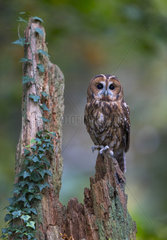 Tawny owl (Strix aluco) Owl perch on a tree stump  England  Autumn