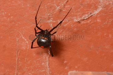 Redback Spider - New Caledonia
