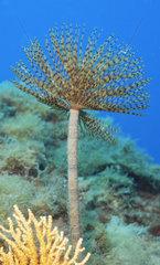 Wreathy-tuft tube worm (Spirographis spallanzani) on reef  Mediterranean Sea  French Riviera  France
