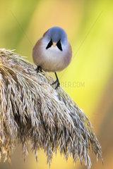 Bearded reedling (Panurus biarmicus) on reed  Toledo  Spain