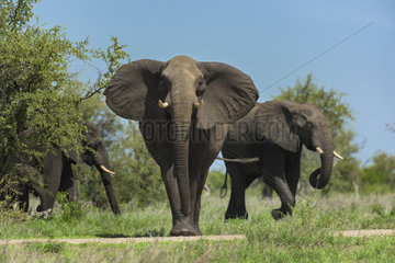 African Elephant (Loxodonta africana) stop  Kruger  South Africa