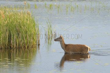 Red deer (Cervus elaphus) in pond  Male  Germany  Europe