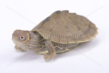 Mississippi map turtle (Graptemys pseudogeographica kohni) on white background