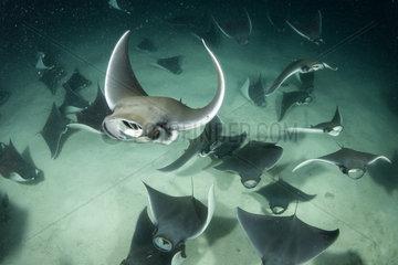 School of Munk's devil ray  pygmy devil ray  (Mobula munkiana)  feeding on plankton at night  Espiritu Santo Island  Sea of Cortez  Baja California  Mexico  East Pacific Ocean