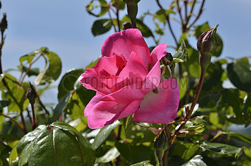 Rose-tree 'Centenaire de Lourdes' in bloom in a garden