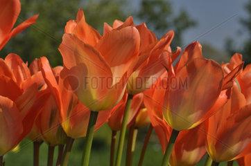Tulips 'Orange Emperor' in bloom in a garden