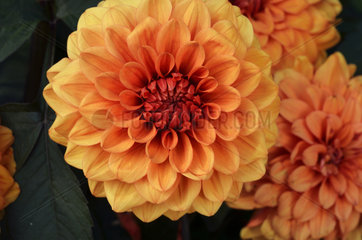 Dahlia 'Dutch Carnaval' in bloom in a garden
