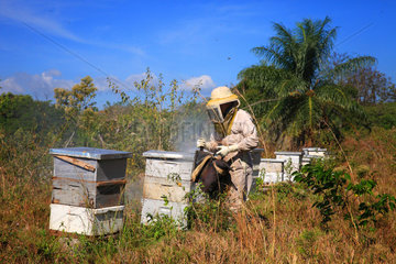 Killers Africanized Honeybees. Abundant smoking of the hives is always the beekeeper's first act. Here  it is vital. Panama