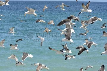 Kelp Gull (Larus dominicanus) group in flight  V Valparaiso Region  Chile