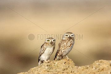 Little owls on ground - Qatar