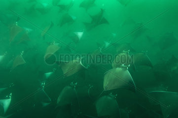 Smoothtail mobulas in dense groups in very murky water