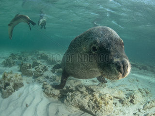 Australian sea lion  Neophoca cinerea  Pinipedia  Western Australia