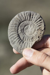 Fossil of Ammonite held in hand. Ardeche  France