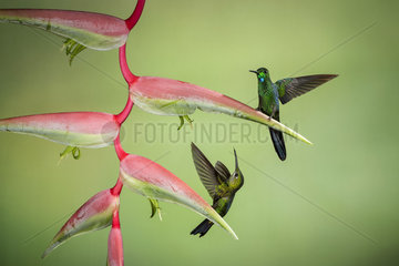 Green-crowned brilliant (Heliodoxa jacula)  male and female on heliconia flower  Costa Rica  July