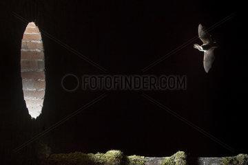 Grey long eared (Plecotus austriacus)  bat approaching the lit window  France