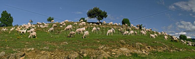 Ewe herd in a meadow - Catalonia - Spain