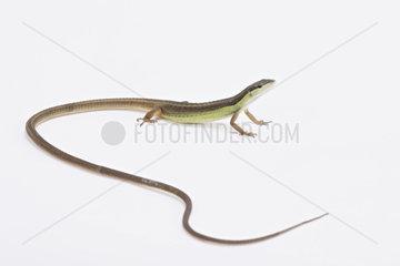 Long-tailed grass lizard (Takydromus sexlineatus) on white background
