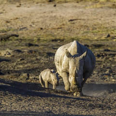Southern White Rhinoceros (Ceratotherium simum simum) and Young  Kruger  South Africa