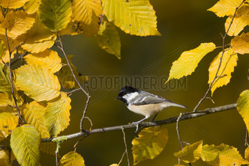 Great Tit perched among autumn leaves - GB
