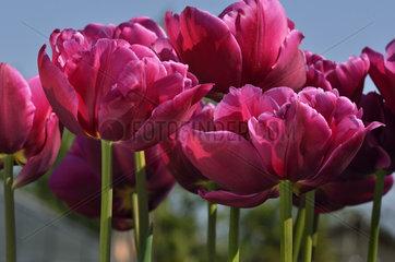 Tulips 'Queen of Marvel' in bloom in a garden