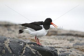 Oystercatcher on rocks - West Coast Harris Outer Hebrides