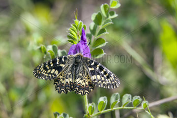 Southern Festoon (Zerynthia polyxena) Posed on an Vetch in spring  Massif des Maures  Hyeres surroundings  Var 83  France